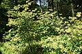 Rhododendron austrinum 17zz.jpg