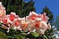 Rhododendron im Seleger Moor.jpg