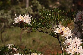 Rhododendron occidentale 4731.JPG