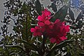 Rhododendron rugosum (7113335991).jpg