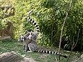 Ringtail lemurs, Munster zoo.jpg