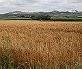 Ripening Barley Field - geograph.org.uk - 200907.jpg