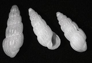 <i>Rissoina</i> genus of molluscs