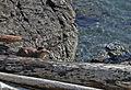 River Otter, San Juan Islands (16838006425).jpg