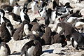 Rockhopper Penguins Chicks (5585859379).jpg