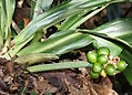 Rohdea japonica (fruits s4).jpg