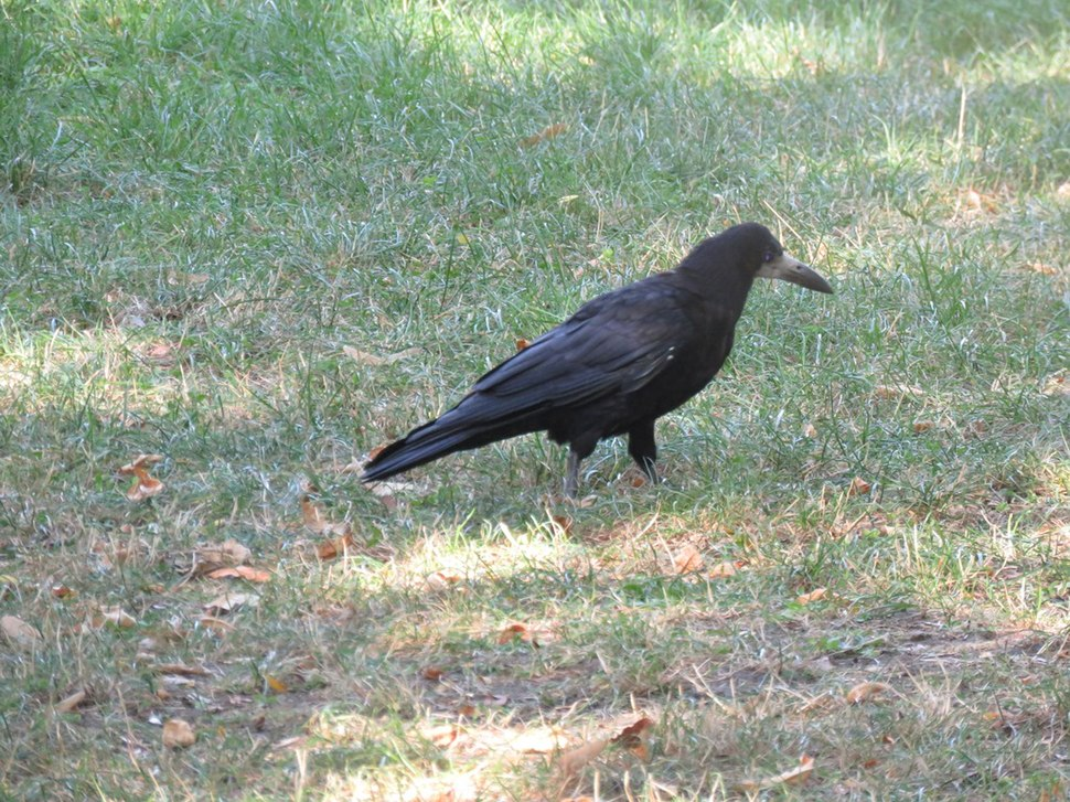 Rook in the grass 02