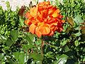 Rosa 'FEgesa' Ferrer 1999 RPO.jpg