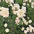 "Rosa ""Bella Weiss"" o KORtuel. 05.jpg"