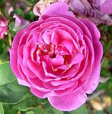 Rosa Bengale Animee 2.jpg