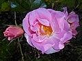 Rosa Pink Robusta 2017-09-29 6113.jpg