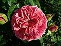 Rosa Princess Alexandra of Kent 2019-06-04 6073.jpg