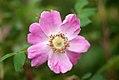 Rosa glauca inflorescence (01).jpg