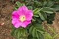Rosa rugosa 18.jpg