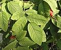 Rosa villosa leaf (04).jpg