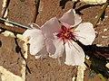 Rosales - Prunus dulcis 'Ingrid' - 5.jpg
