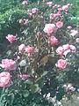 Rosales - Rosa cultivars 13 - 2011.07.11.jpg