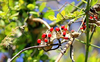 Rosary Pea Plant Seed.jpg