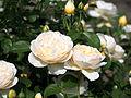 Rose, Charlotte, バラ,シャーロット, (9510652196).jpg