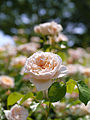 Rose, Jayne Austin, バラ, ジェーン オースチン, (9426835106).jpg