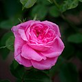Rose, Jules Margottin, バラ, ジュール マルゴッタン, (21306000591).jpg