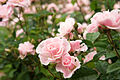 Rose Ceresso バラ セレッソ (6966855789).jpg
