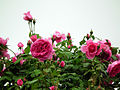 Rose Parade バラ パレード (6795312134).jpg