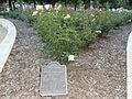 Rose garden in Roxbury Memorial Park in Beverly Hills, California.JPG