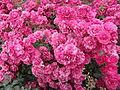 Roses Eltville 2014-3.JPG