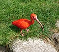 Roter Ibis (Eudocimus ruber) - 6.jpg