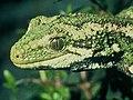 Rough Gecko.jpg