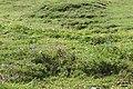 Rough alpine meadow (Grubigstein) (24251891151).jpg