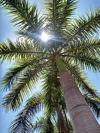 Roystonea regia - Worm eye view of a mature Royal palm