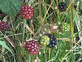 Rubus fruticosus wetland 9.jpg