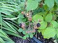 Rubus fuscus - Botanischer Garten, Frankfurt am Main - DSC2501.JPG