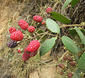 Rubus glaucus, the Andean Raspberry (11348333796).jpg