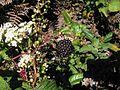 Rubus glaucus fruto maduro.JPG