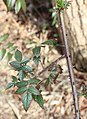 Rubus sumatranus s4.jpg