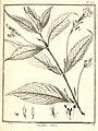 Ruellia rubra Aublet 1775 pl 270.jpg