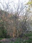 Ruhland, Verbindungsstraße von der Ortrander Str. über die Autobahn zum Forsthaus, Kirschpflaume blühend, Frühling, 01.jpg