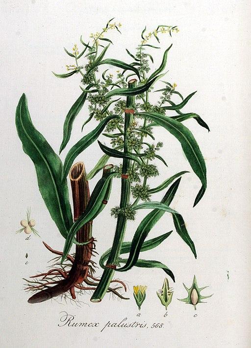Rumex palustris — Flora Batava — Volume v8