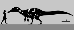 Fossil bone illustrations inside the black silhouette of a tall-spined spinosaurid, next to a walking human silhouette; the human is 1.8 metres tall, the dinosaur is 8 metres long