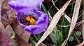 Saffron - Crocus vernus 21.jpg