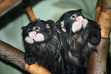 Saguinus mystax at the Bronx Zoo 01.jpg