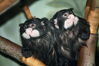 Moustached tamarin species of New World monkey