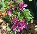 Saint-Martin-du-Mont (Ain) - fleur grande mauve.JPG