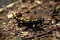 Salamander near Palast.jpg