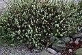 Salix-lanata-total.JPG