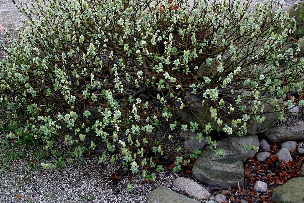 Salix-lanata-total
