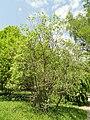 Salix aegyptiaca - Botanischer Garten München-Nymphenburg - DSC07716.JPG